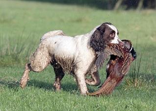 gun_dog_with_pheasant